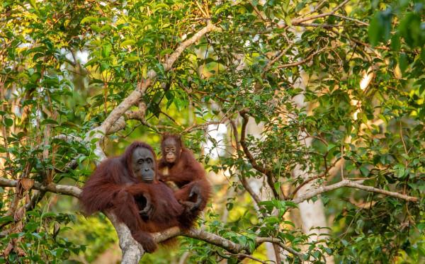 Menjaga 'Heart of Borneo' Tetap Berdetak