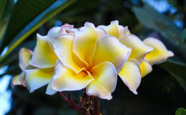 Inilah Tanaman Bunga Indonesia yang Memiliki Wangi yang Khas
