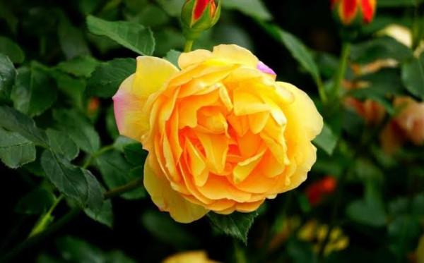Anda Pecinta Tanaman? Beragam Jenis Mawar Ini Wajib Anda Ketahui!