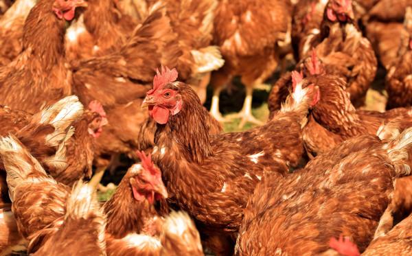 Ayam Kampung vs Ayam Potong. Mana Yang Lebih Baik?