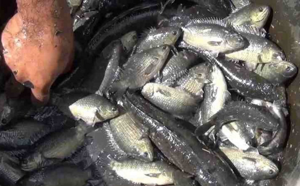 Tradisi Makan (Anakan) Ikan Urang Banjar