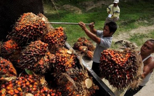 Menuju Kontrak Baru, Nilai Minyak Sawit Makin Anjlok